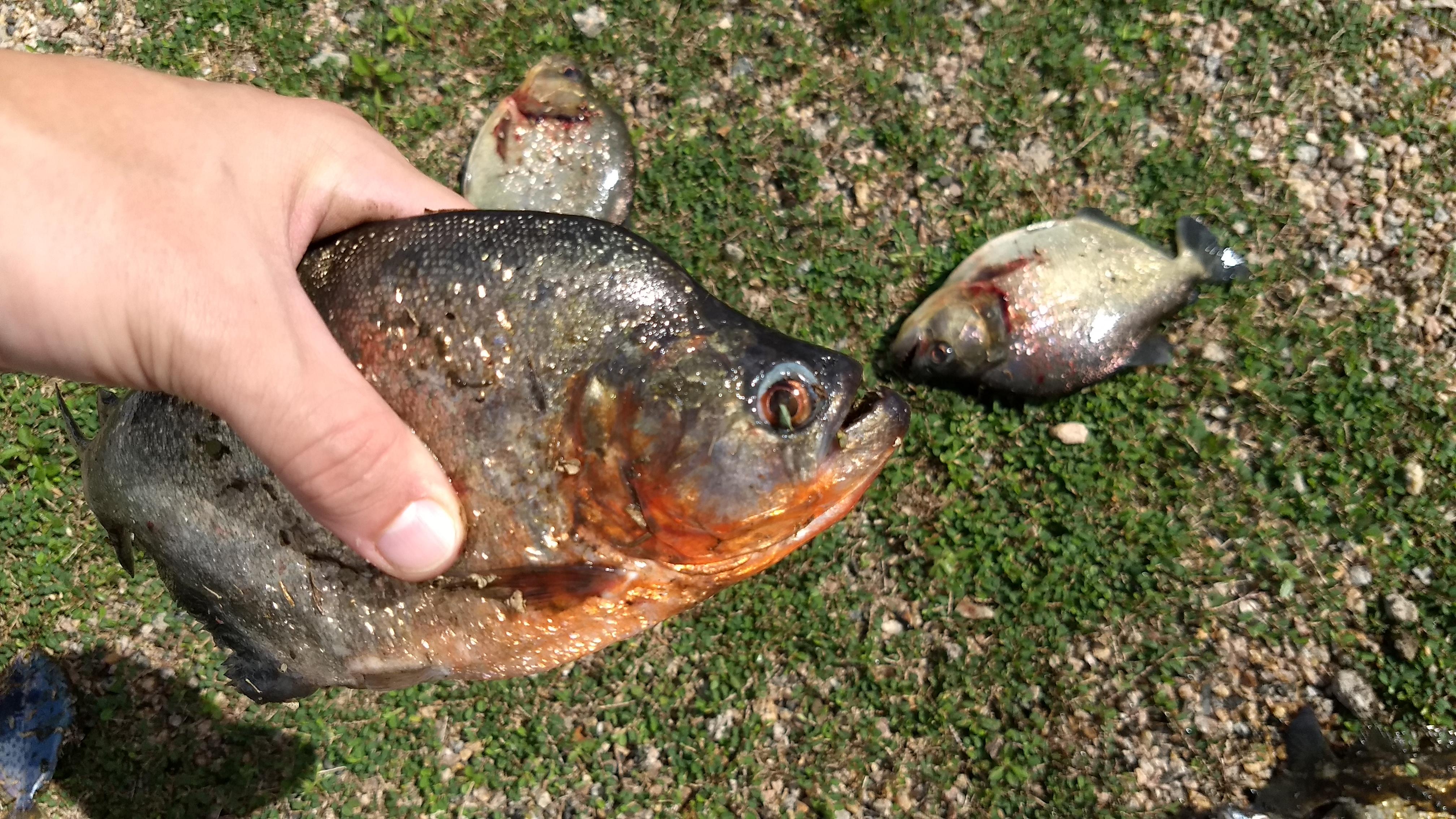 Aumento de Piranhas no açude Arneiroz II desafia gestão dos Recursos Hídricos